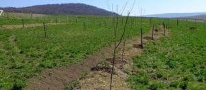 Newly established orchard with swale