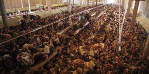 #FAKEfreerange chickens