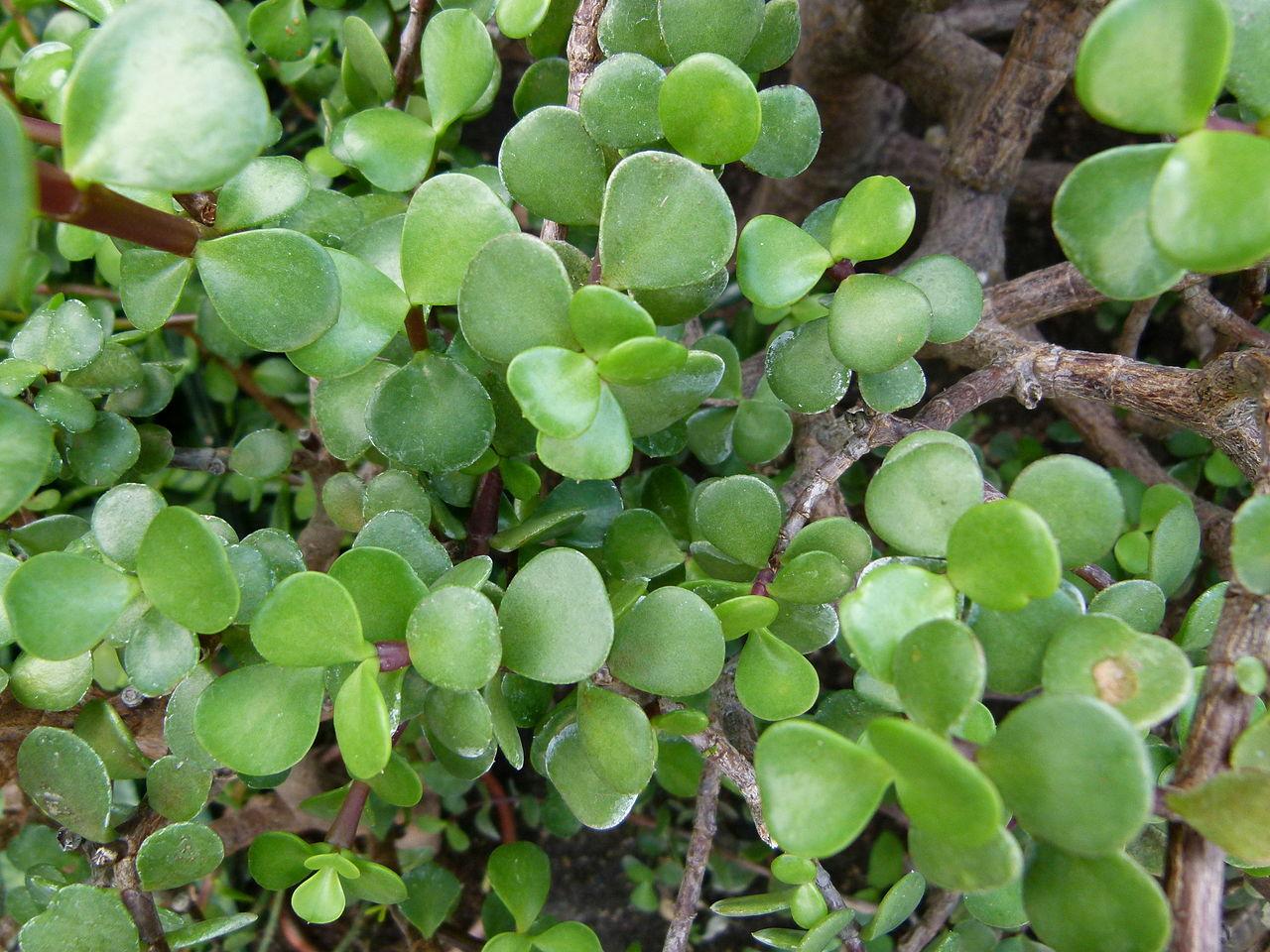 Spekboom leaves
