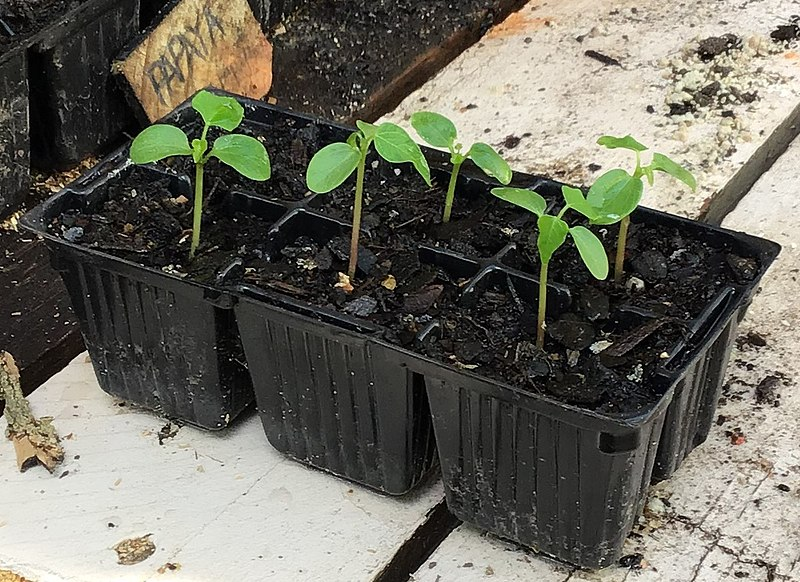 6 pack seasonal seedling mix
